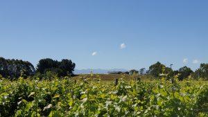 Half-Day Wine Tour Gladstone vineyard views